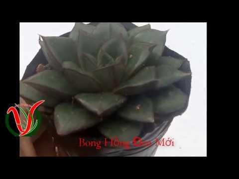 Vuki Garden| Giới thiệu sen đá | Bông Hồng Đen loại mới (Types of succulents - Echeveria purpureum)