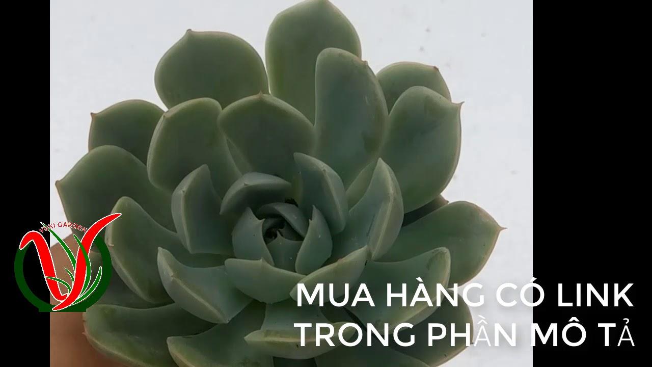 Vuki Garden| Giới thiệu sen đá | Sen trắng (Types of succulents - Echeveria Elegans)