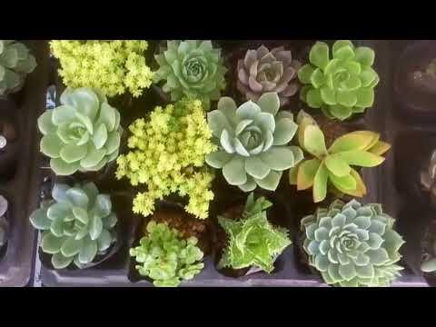 Vuki Garden | Sen đá đồng giá 15k update 14/10/2019