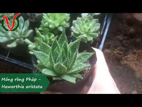 Vuki Garden| Tên các loại sen đá | Móng rồng Pháp (Types of succulents - Haworthia aristata )