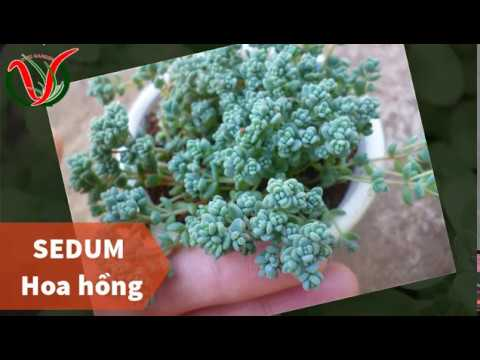 Vuki Garden| Tên các loại sen đá | Sedum hoa hồng (Types of succulents - Corsican Stonecrop)