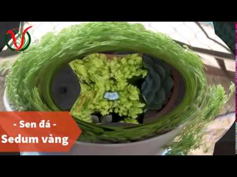Vuki Garden| Tên các loại sen đá | Sedum vàng (Types of succulents - Golden Sedum))