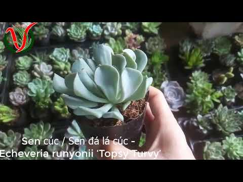 Vuki Garden| Tên các loại sen đá | Sen cúc (Types of succulents - Echeveria runyonii 'Topsy Turvy')