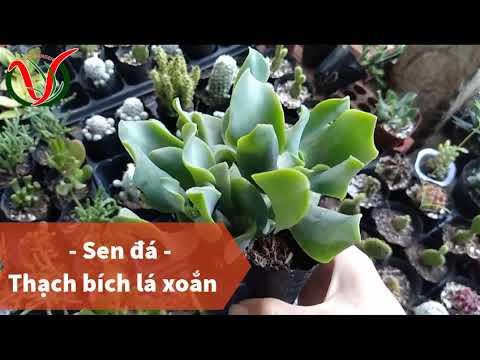Vuki Garden| Tên các loại sen đá | Thạch bích lá xoắn (Types of succulents - Curly Jade)