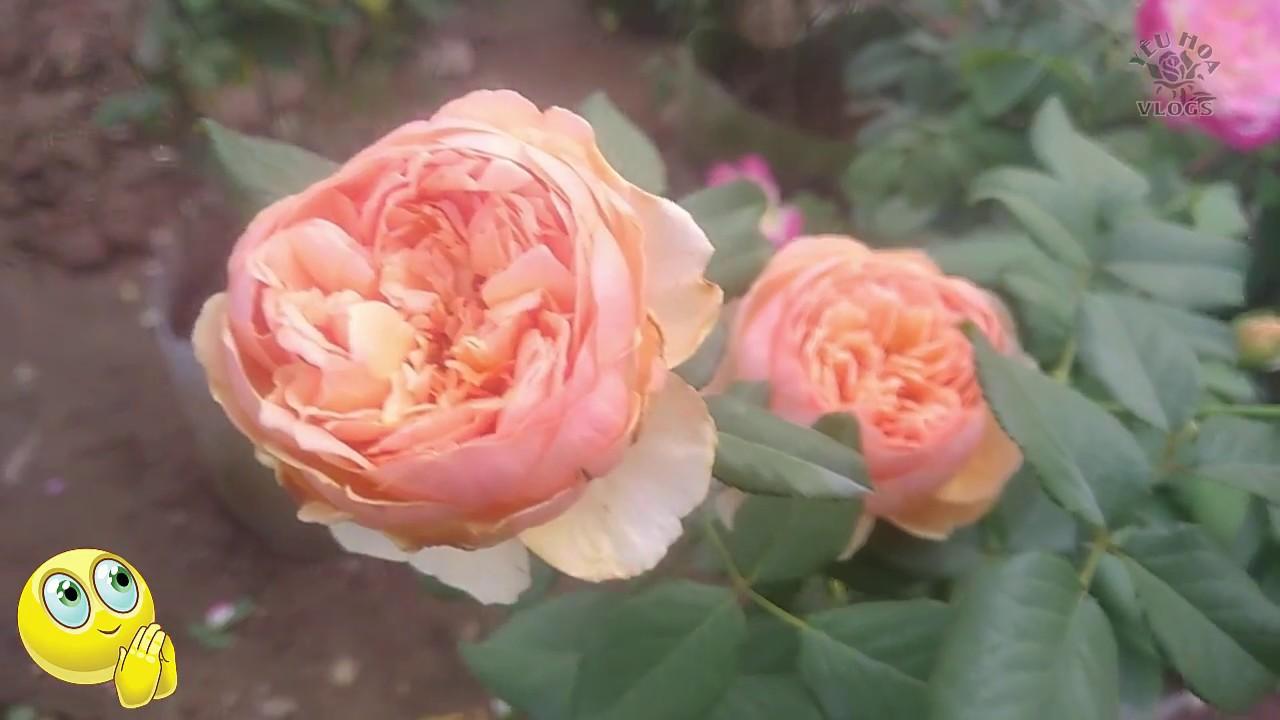 Vườn Hồng ngoại đẹp nhất   Những giống hồng ngoại độc đáo