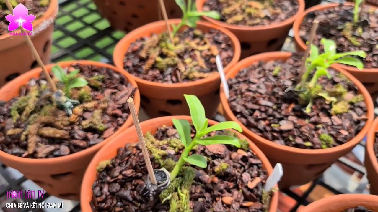 Xuân Chiến Lan Rừng - Vườn Nhiều Giống Chất ở Mê Linh