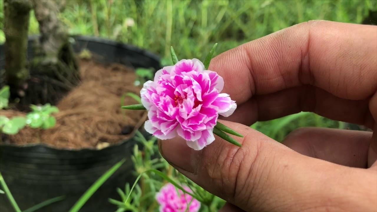 Ý nghĩa của hoa 10 giờ(hoa 10 giờ tượng trưng cho tình yêu đẹp và trong sáng)