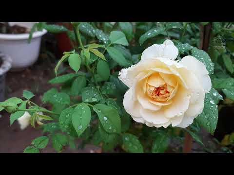 Yêu hoa hồng - Thăm vườn hoa hồng tuyệt đẹp mùa thu