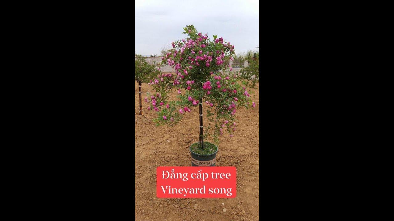 đẳng cấp chơi tree Vineyard song rose hoa hồng rủ