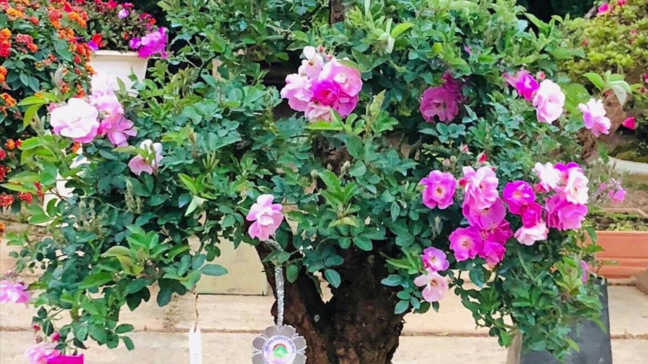 giâm cành và ghép hoa hồng,Easy way to grow rose from cutting, How to grow rose plant 눈 이식, 장미 정원.