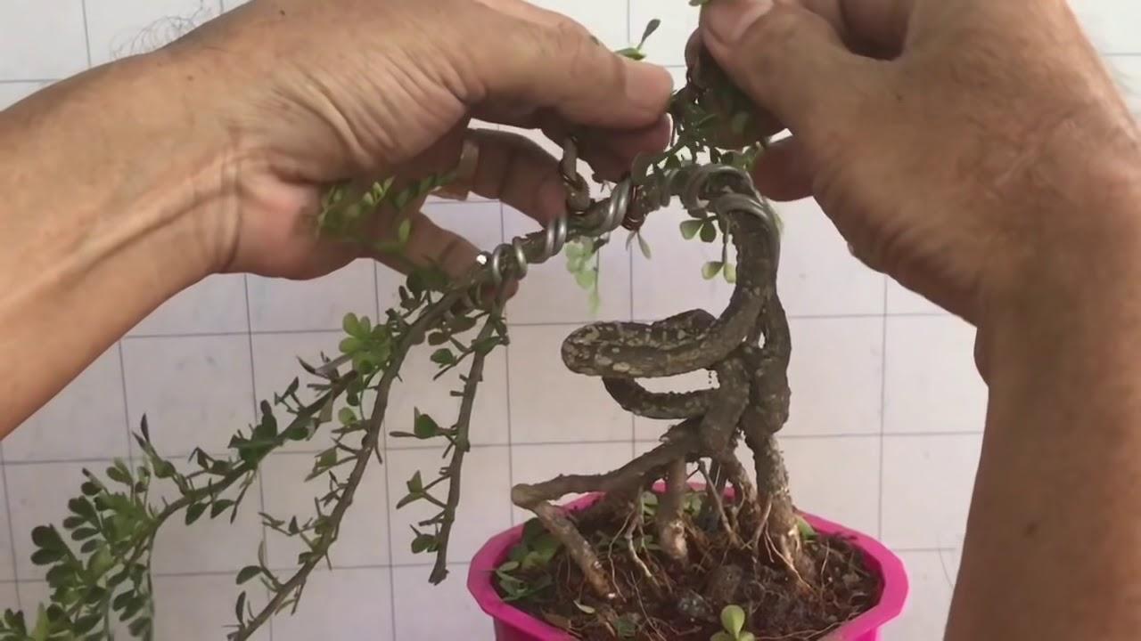 #8 kỷ thuật uốn cây bonsai mini - dành cho người mới biết chơi