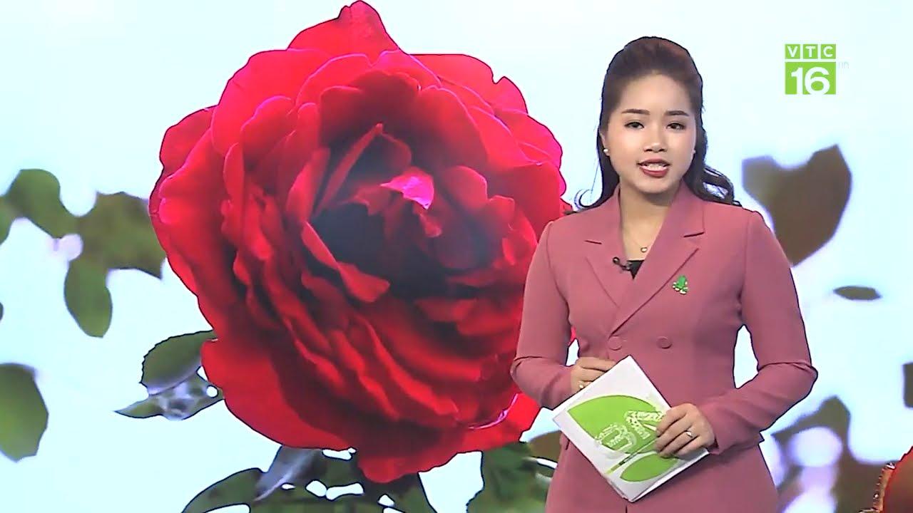 Bật mí cách chăm sóc hoa hồng trồng chậu khoẻ đẹp - VTC16