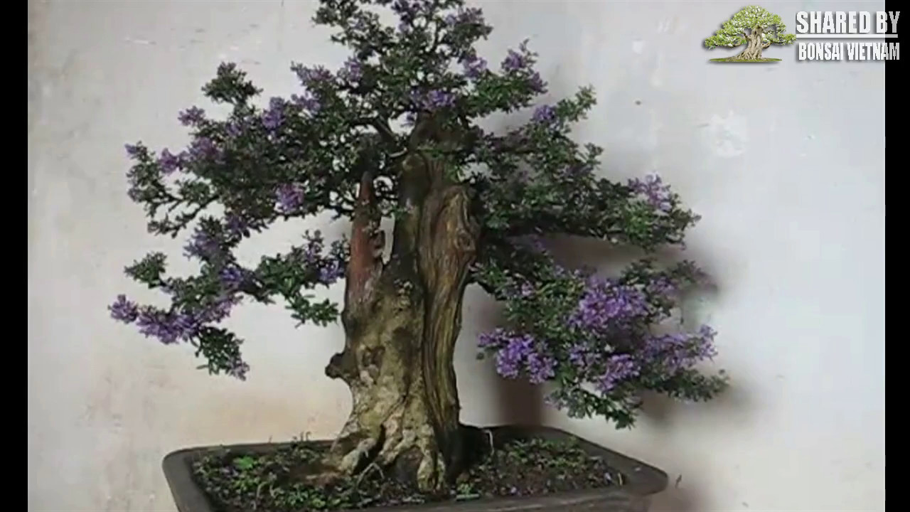 Bộ sưu tập Cây Linh Sam bonsai đang hoa