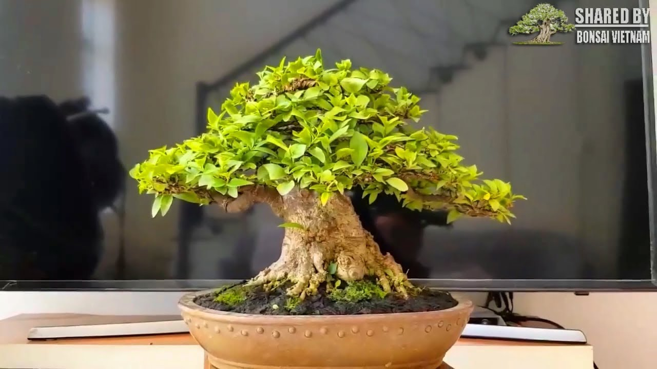 Bonsai đẹp Việt Nam chia sẻ tháng 9 || Số #116