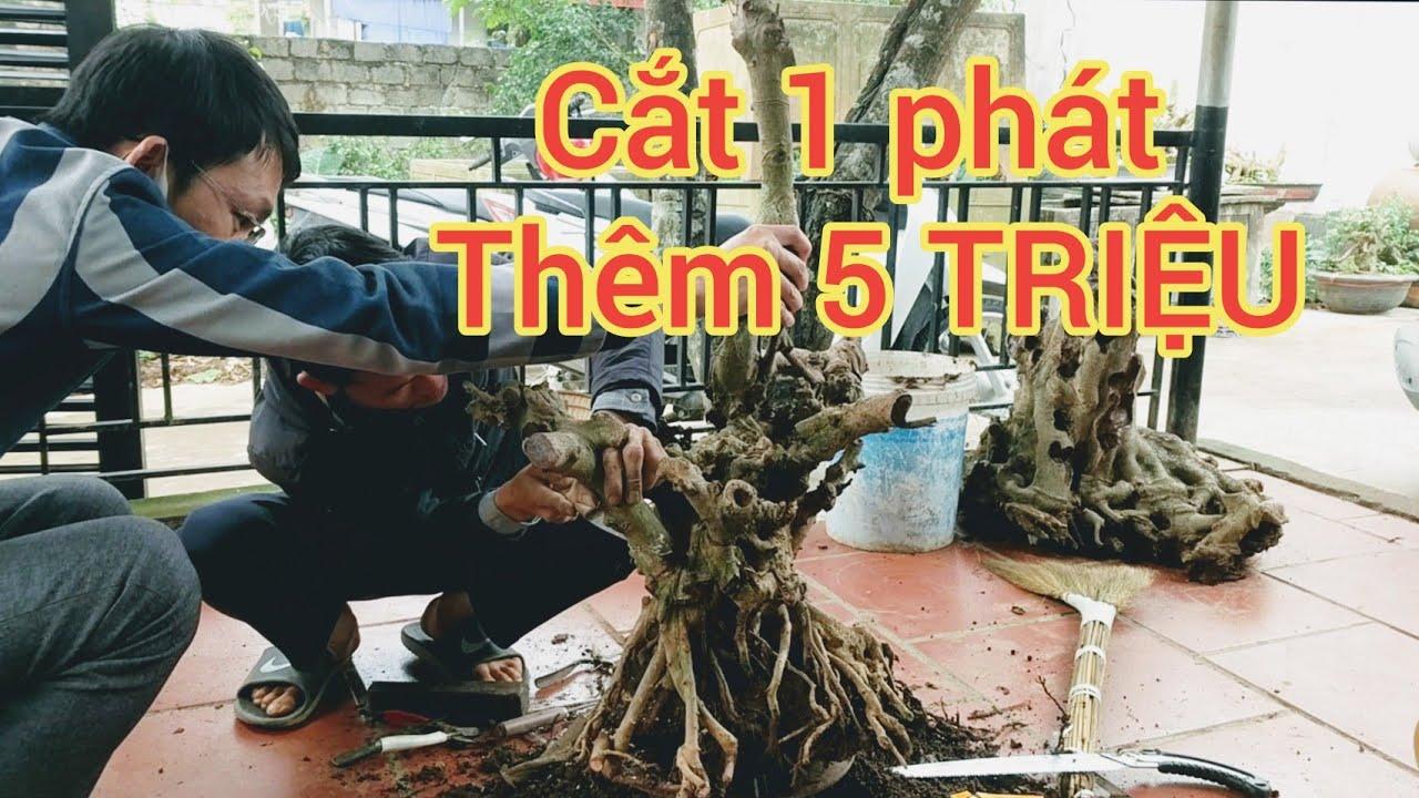 CẮT MỘT PHÁT thêm 5 TRIỆU cây si Cổ búp đỏ siêu u cục chia sẻ với anh em
