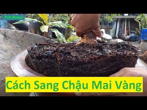 Cách Sang Chậu Mai Vàng Không Động Rễ | Tính Bonsai