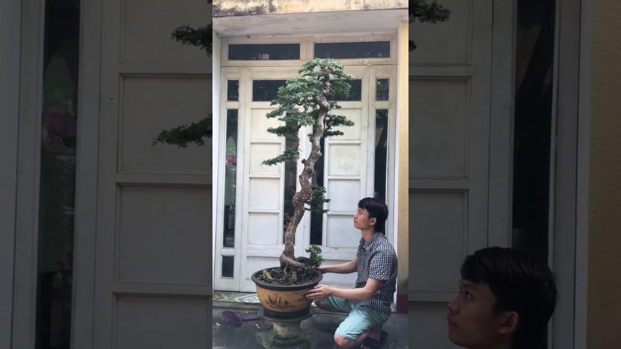 Cây Cần thăng bonsai dáng đẹp lạ