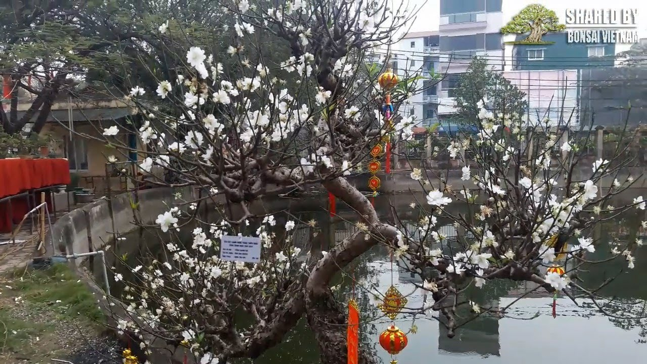 Cây Đào hoa trắng Bonsai rất hiếm   White peach blossom bonsai tree