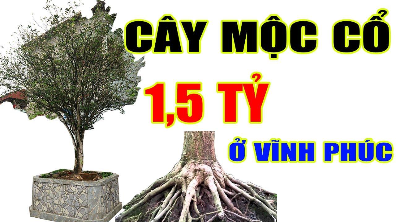 Cây Mộc cổ ở Vĩnh Phúc có 1 0 2 được định giá 1,5 Tỷ