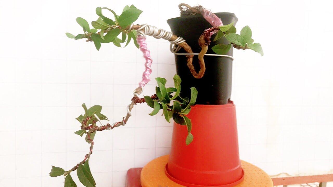 Cây cảnh bonsai - uốn cây ổi mini - dành cho người mới biết chơi