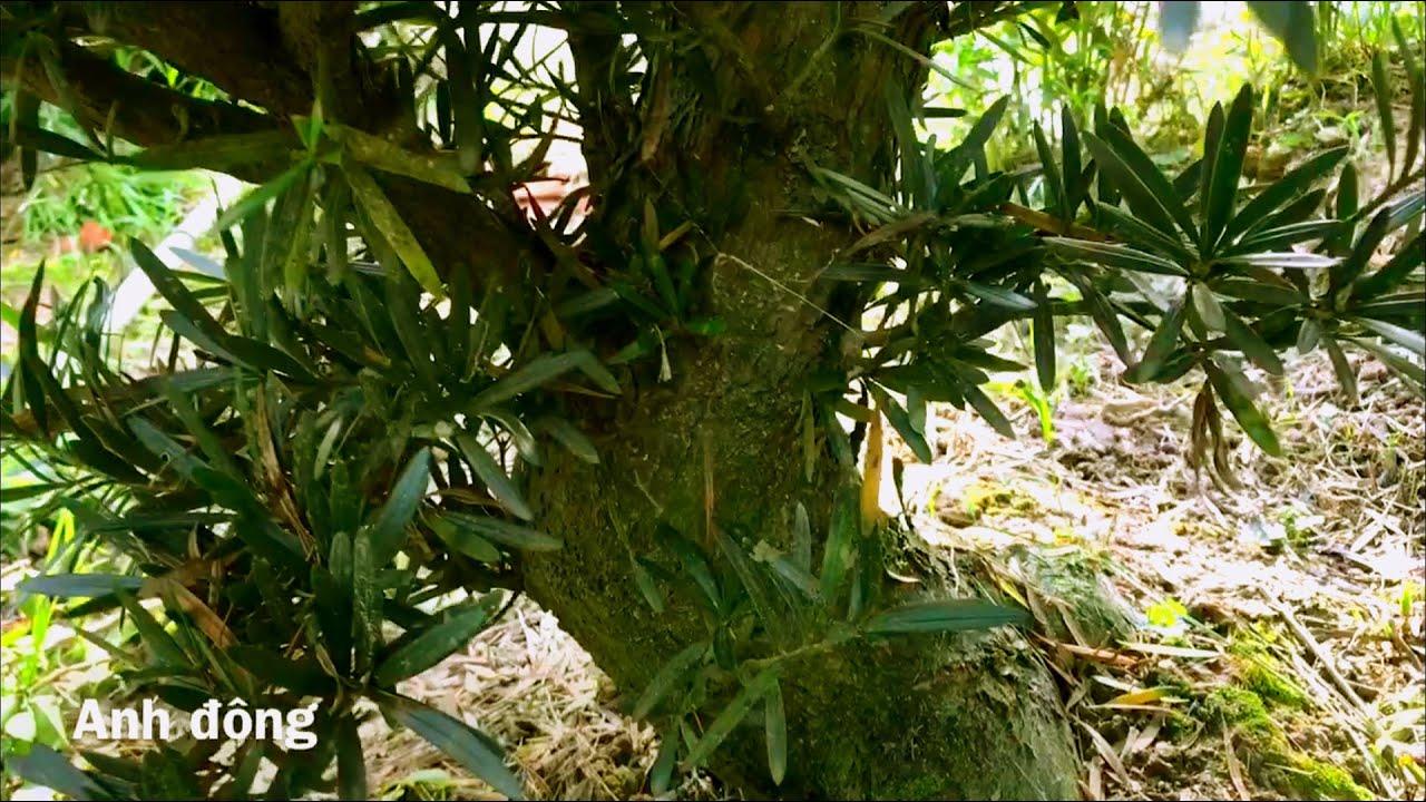 Giới thiệu vườn vạn niên tùng Tiền Giang