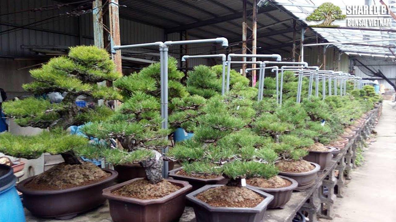 Khu vực trồng Thông đen Bonsai tại vườn Bonsai lớn nhất Đài Loan