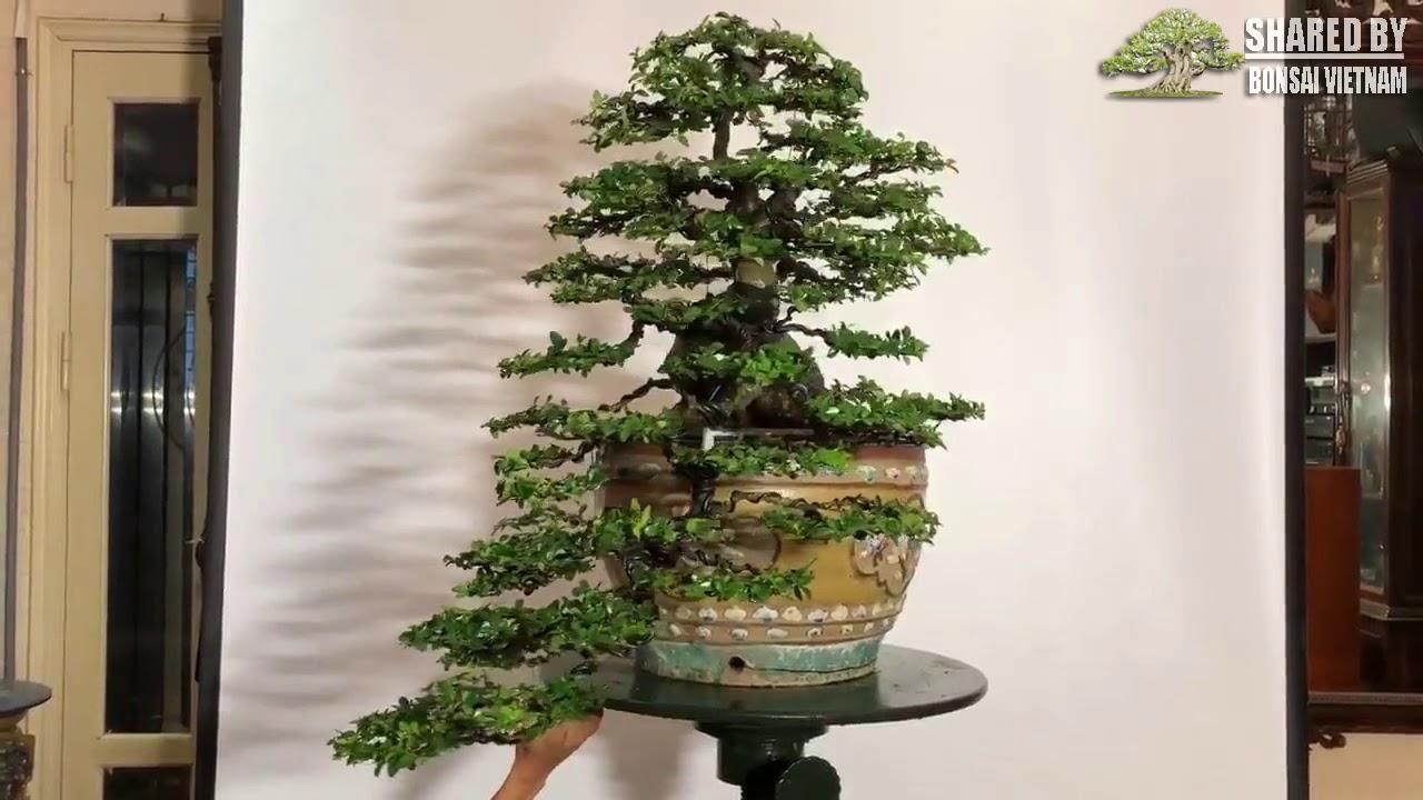 Kim Quýt bonsai Cao Sơn Lưu Thủy    Triphasia Trifolia bonsai