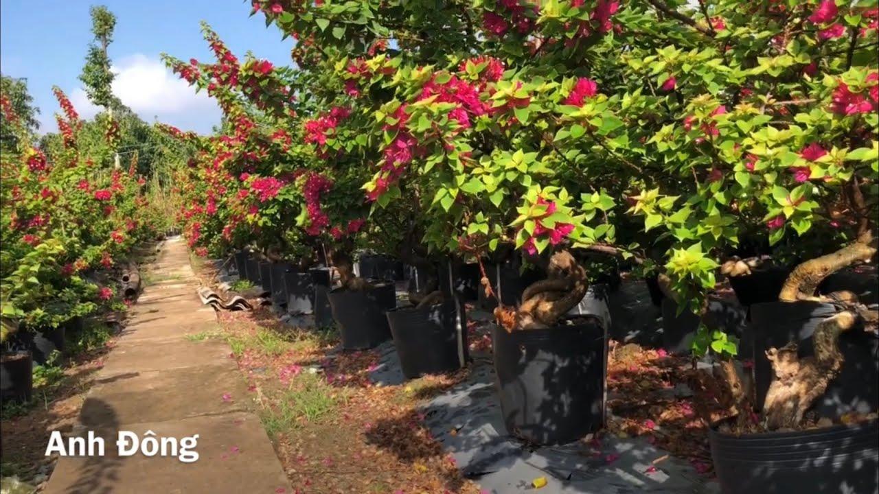 Làng chuyên trồng hoa giấy ở Đồng Tháp