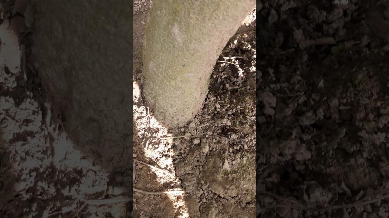 Mai Vàng Hoành 24,5 cm Tàng Thông Cao Tầm 3m