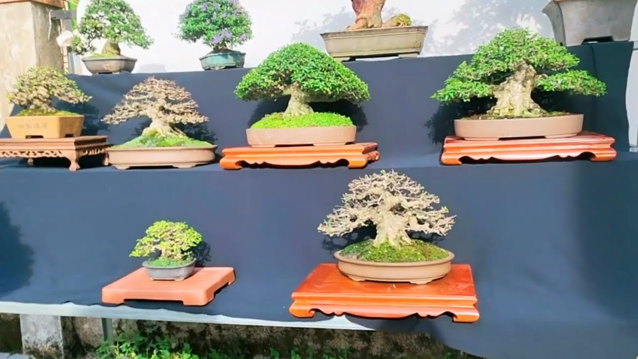 Một bộ sưu tập Bonsai đáng mơ ước cuối năm của nghệ nhân Bình Dương
