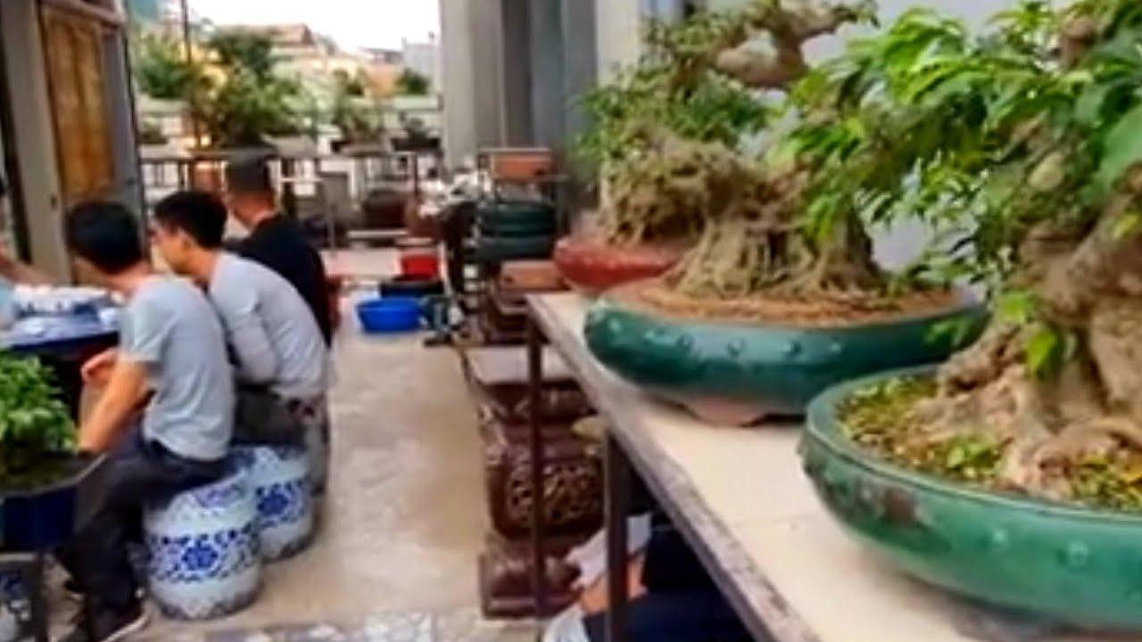 Quá công phu mới đưa được những gốc phôi quý trên tầng 5 nhà vườn Hậu Cây Tửu Quán Hà Nôi.