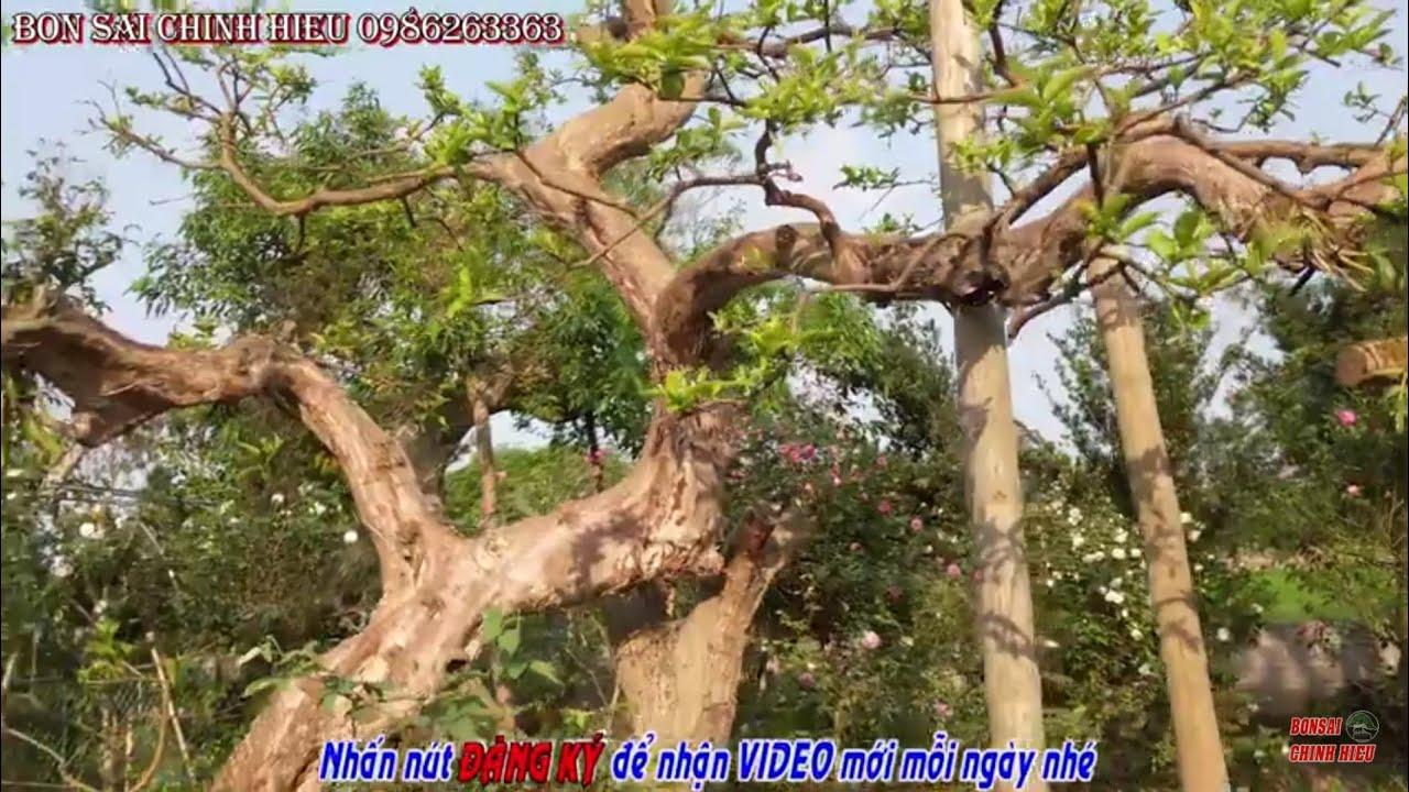 Quá khủng với cây ổi đưa từ Hòa Bình về Lai Thành - Kim Sơn - Ninh Bình.