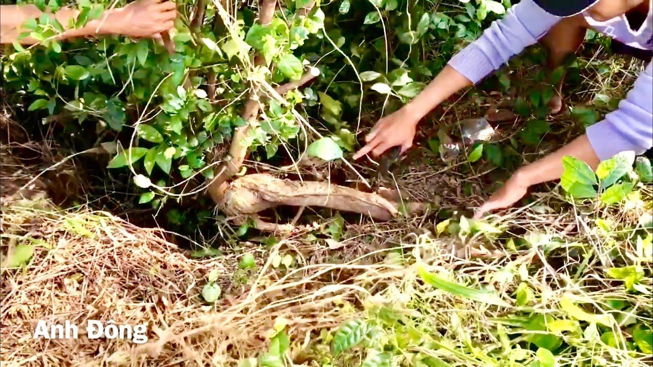 Săn bonsai trong vườn gặp cây đã quá