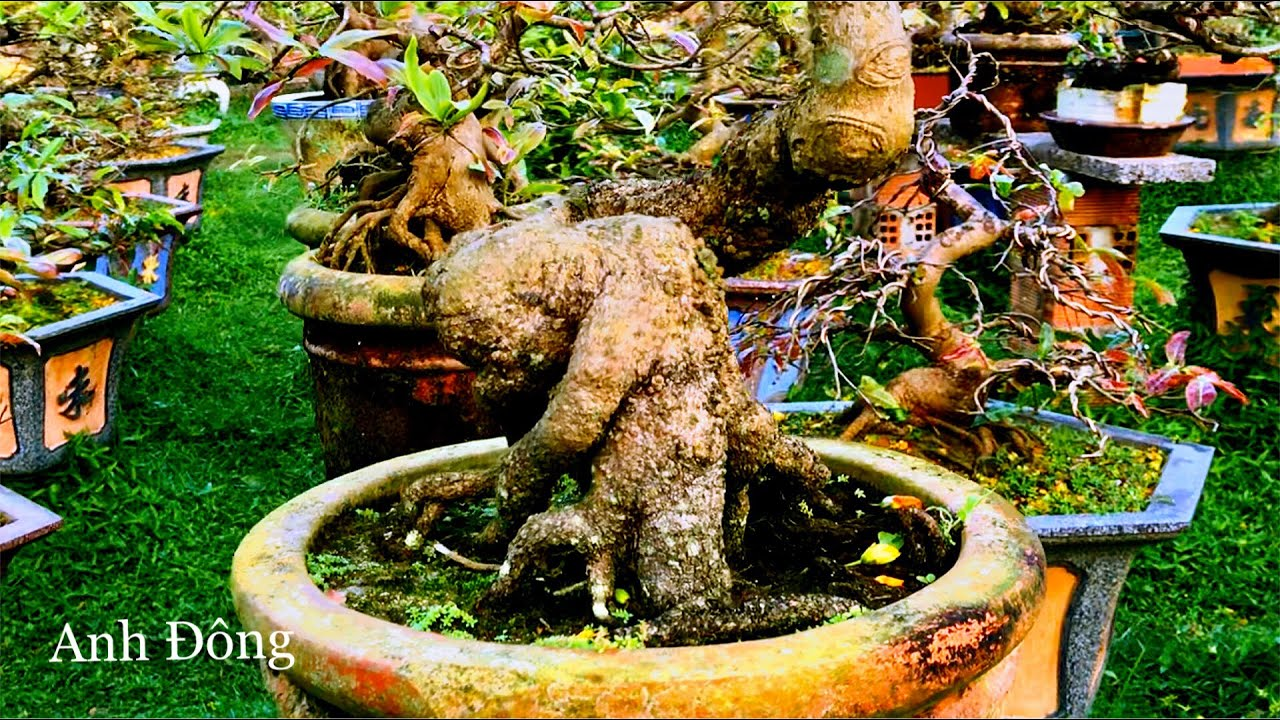 Thăm vườn mai có nhiều gốc đẹp ở Bình Định