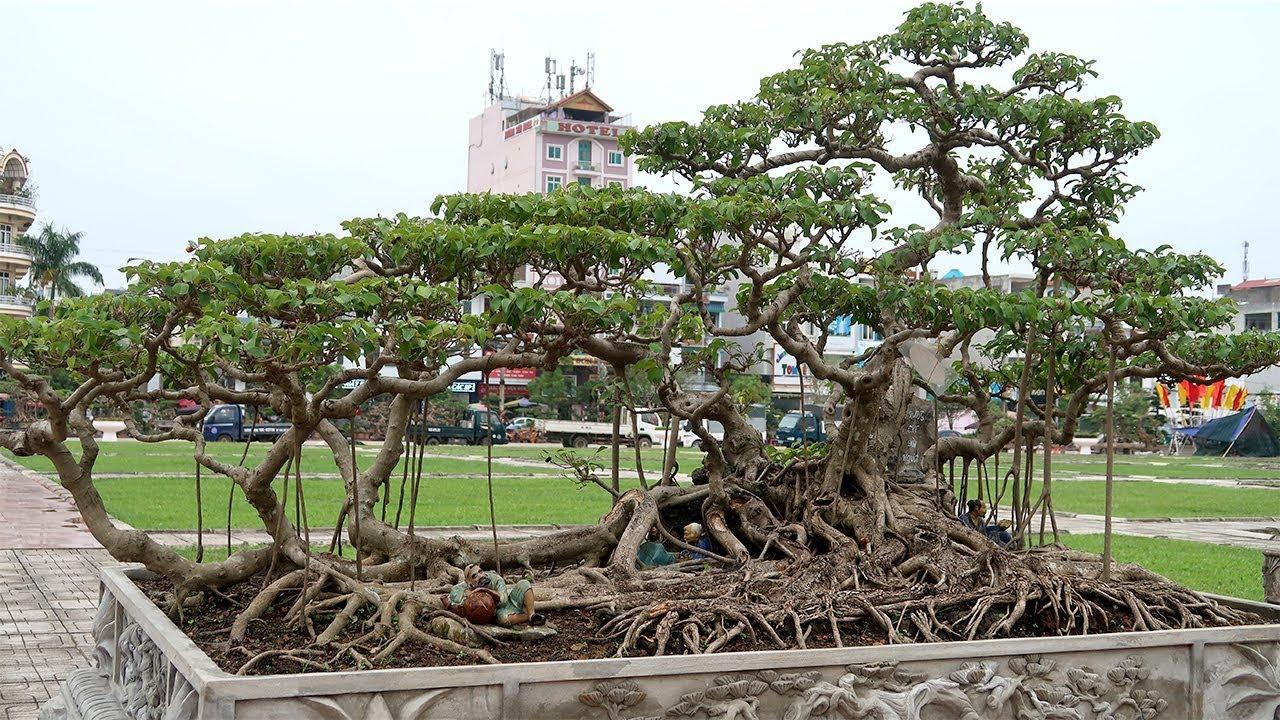 Theo chân Thực lão đãi đi xem những cây đẹp nhất