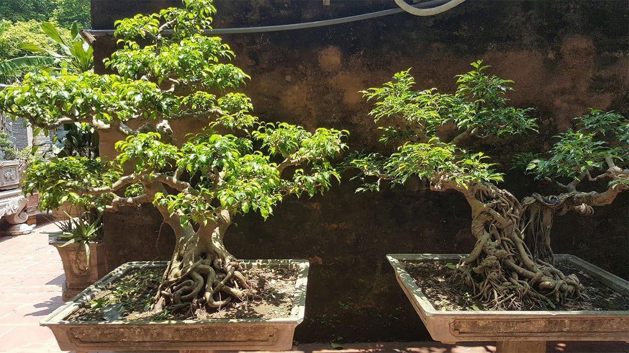 Tư vấn về cây sanh quê - Counseling the tree of birth