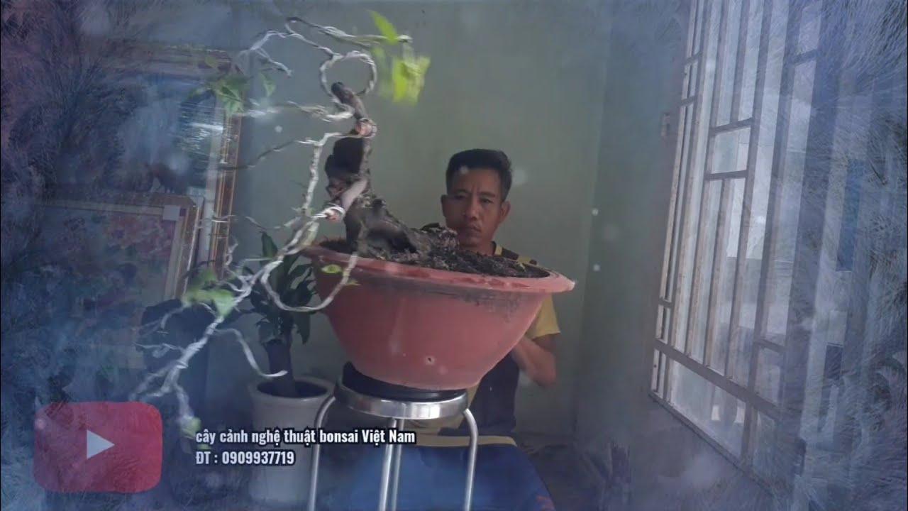 Uốn cây bông giấy đổ chuẩn bị tết