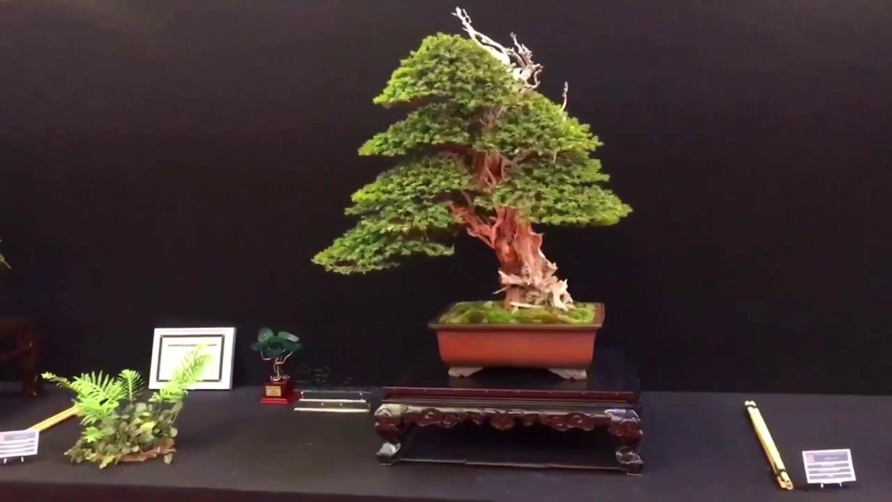 Vẻ đẹp hoàn hảo của một cây Thủy Tùng Bonsai