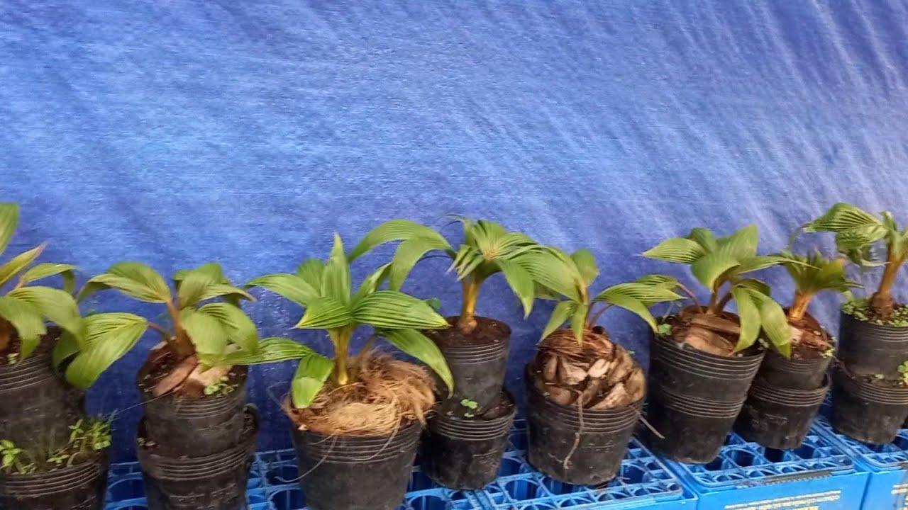 Vì sao cây dừa bonsai lá to ?