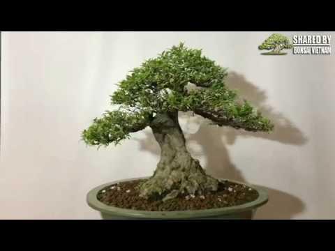 Wrightia religiosa || Mai Chiếu Thủy bonsai