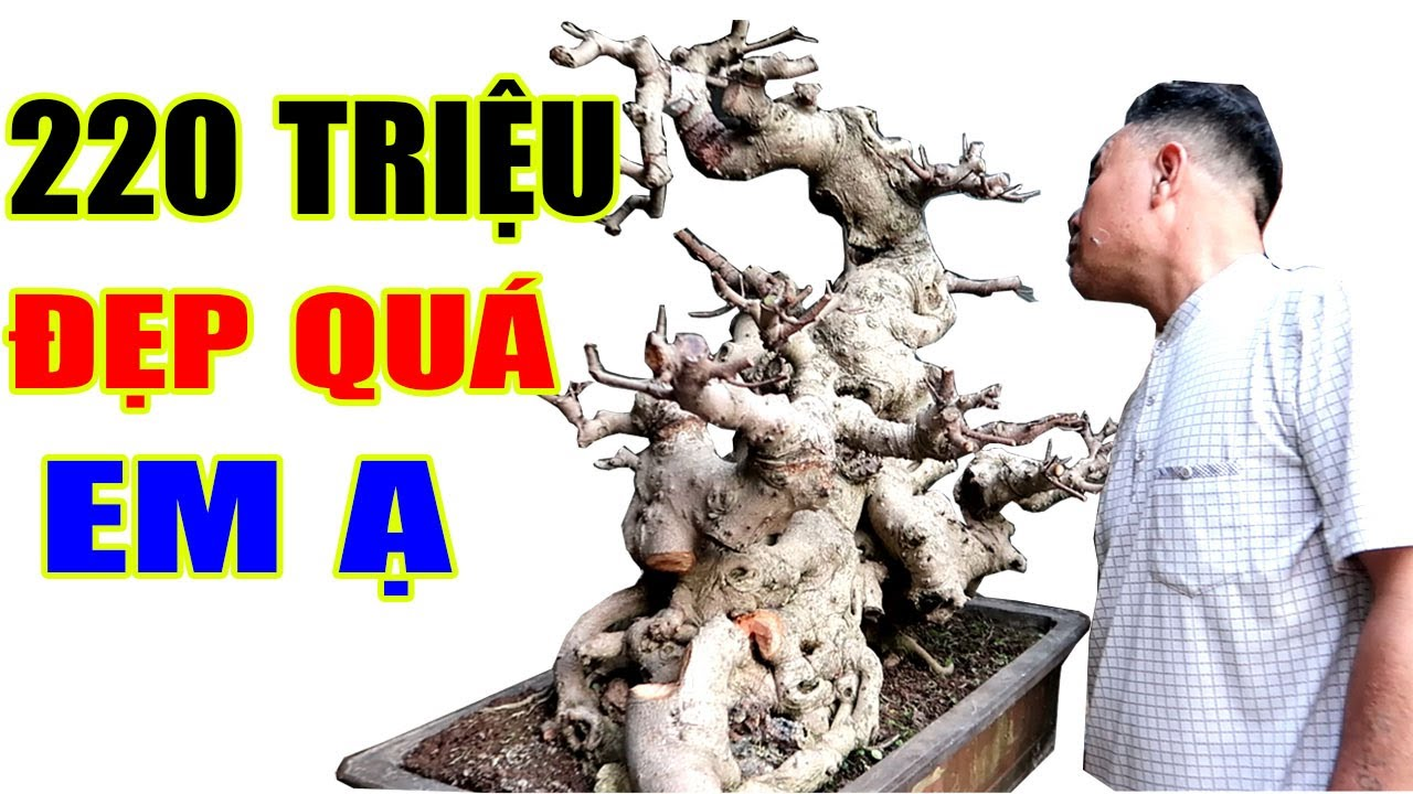 Xem cây Si 220 triệu của anh Cường ở Ninh Bình, (ĐT liên hệ cây Trắc 0373737801 hoặc 091343258)