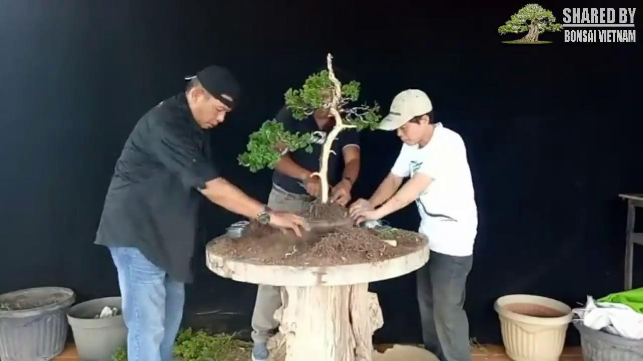 Xem nghệ nhân bonsai Indo thực hành với cây Duyên Tùng