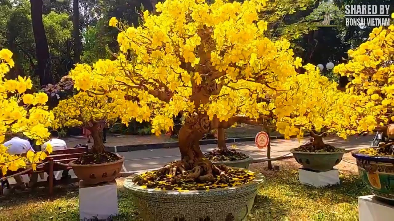 Yellow Apricot  bonsai trees at the Spring Flower festival, Vietnam