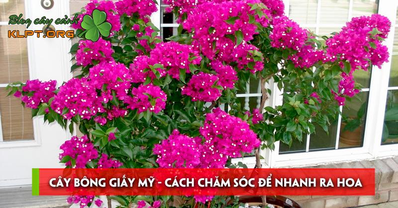 cay-bong-giay-my