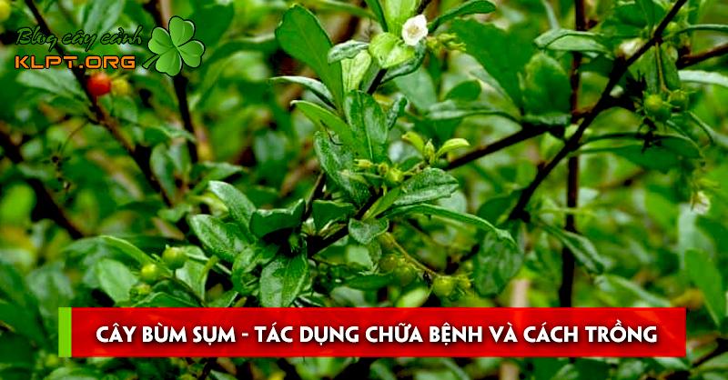 cay-bum-sum-tac-dung-chua-benh-va-cach-trong