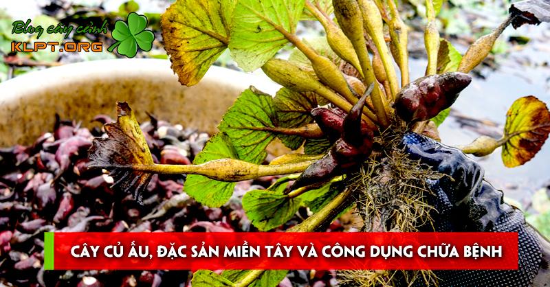 cay-cu-au-dac-san-mien-tay-va-cong-dung-chua-benh