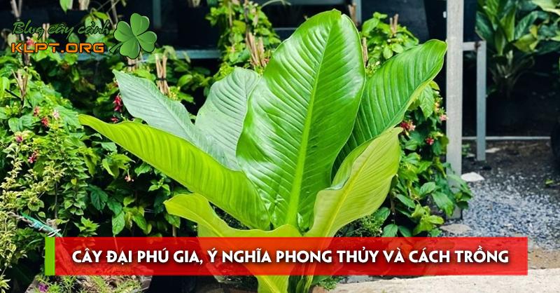 cay-dai-phu-gia