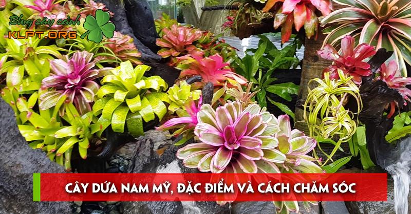 cay-dua-nam-my
