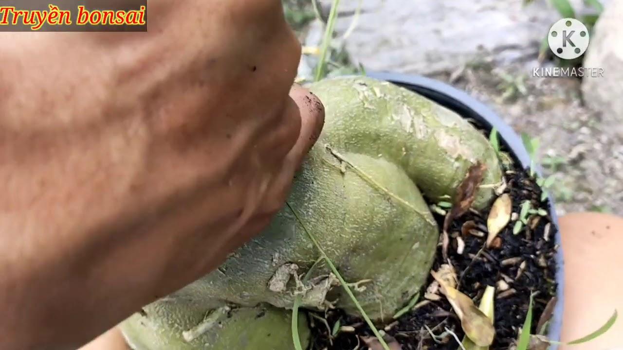chia sẽ xử lý bệnh Nấm móc trắng trông chất trồng: (Tuyến trùng rể )/truyền bonsai.