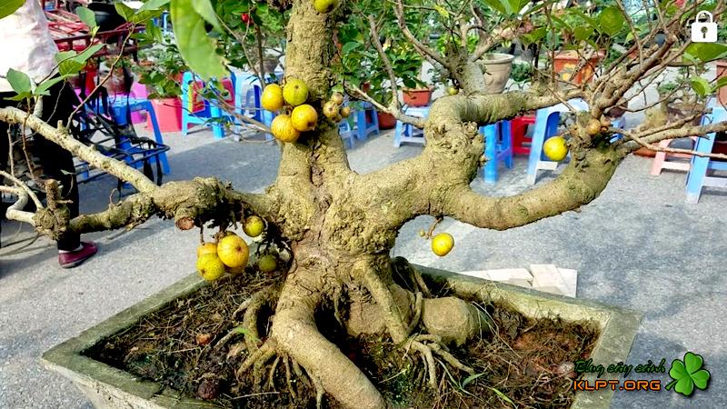 cong-dung-va-y-nghia-cua-cay-sung-bonsai
